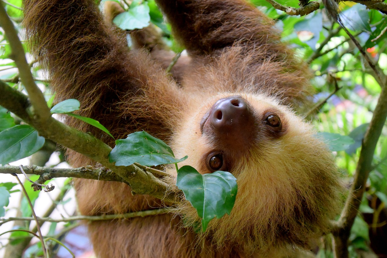 Cute picture of a baby sloth hanging in a bright green jungle