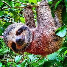 Picture of a smiling baby sloth hanging happily upside down