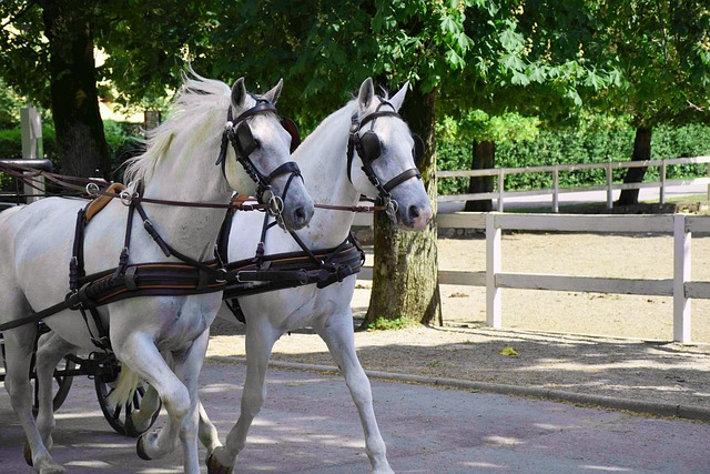 Beautiful Lipizzaner Horses pulling carriage through the park