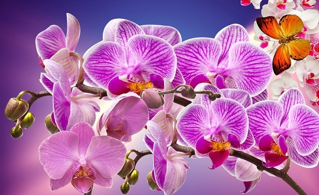Bright pink and purple orchids with a lovely orange butterfly set against a deep blue background