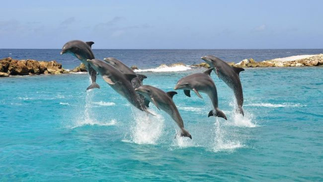 Dolphins play in the refreshing blue water of Curacao
