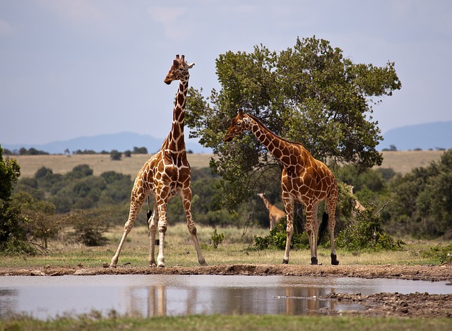 Picture of giraffes playing near the water in Kenya