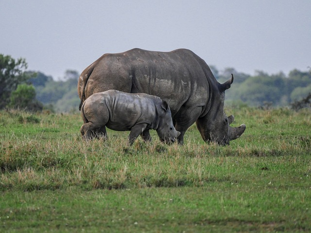 Picture of a Rhino and cub strolling through the grass in Nairobi, Kenya, Africa
