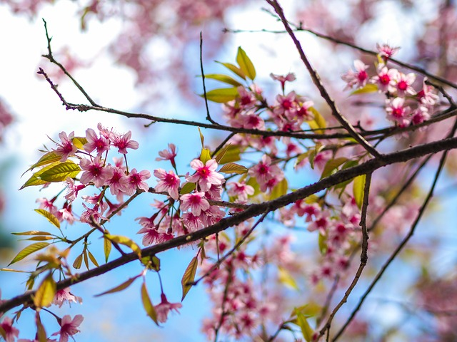 Picture of spring charry blossoms