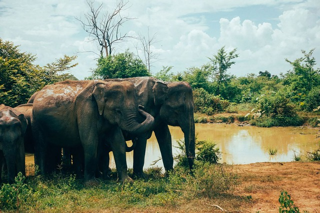 sri-lanka-picture of elephants you might see during your travels