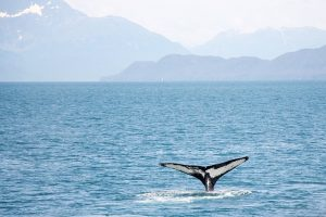 Spotting a whale is an experience you will never forget